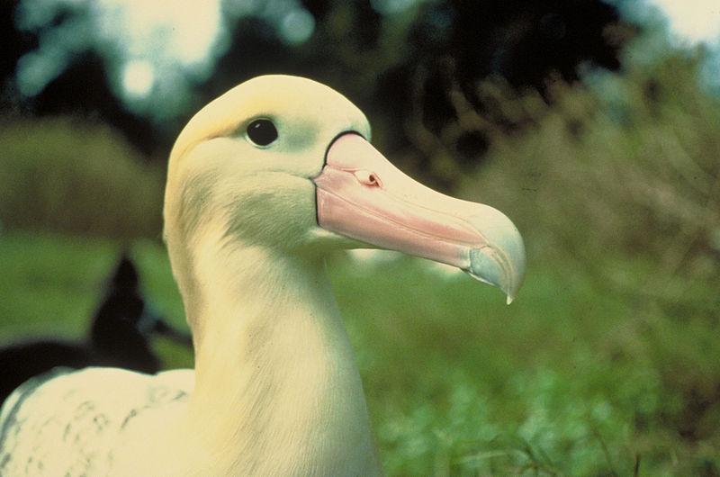 Short-tailed_Albatross_(Phoebastria_albatrus)