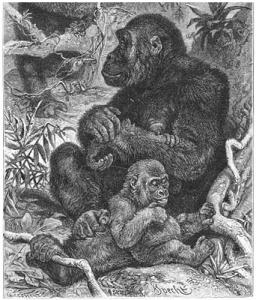 Brehms_Het_Leven_der_Dieren_Zoogdieren_Orde_1_Gorilla_(Gorilla_gina)