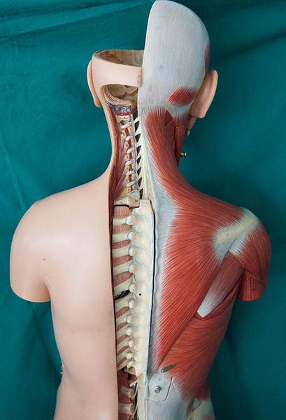 Back_Anatomy_and_Medulla_Spinalis